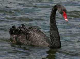 Черный Лебедь Нассима Талеба